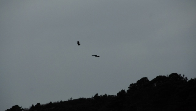 The Pair of Sea Eagles