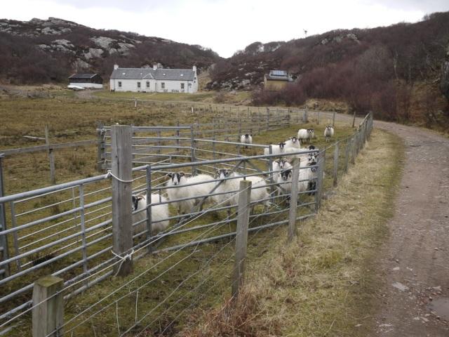 Sorting Sheep