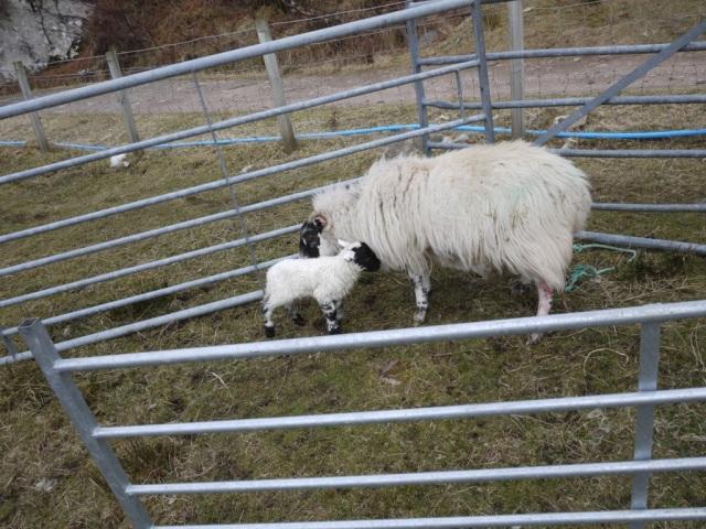 Spottys Lamb