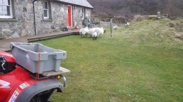 Feeding the Sheep to the pen