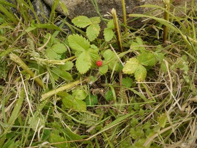 Wild Strawberry ( fragaria vesca)