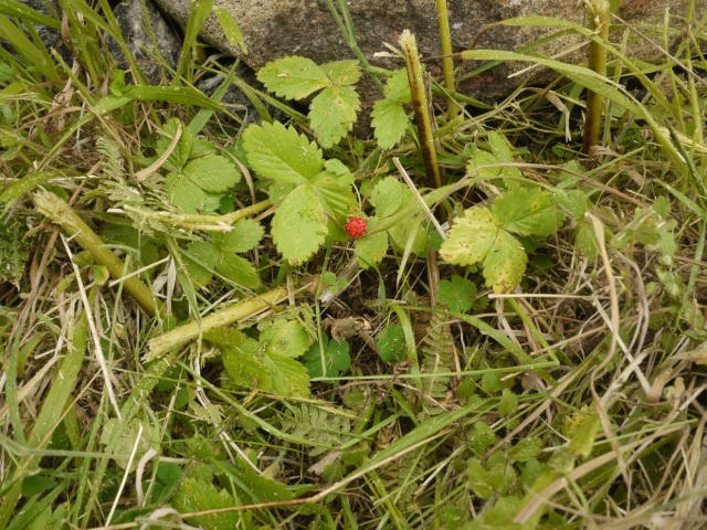 Wild Strawberry ( fragaria vesca)