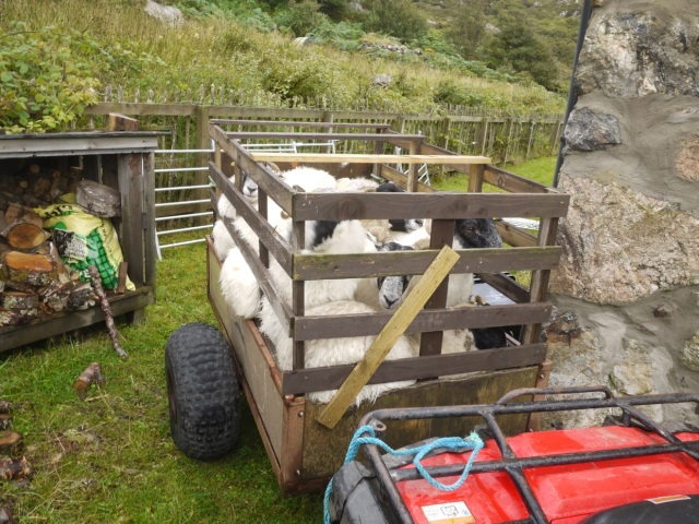 Sheep Recaptured