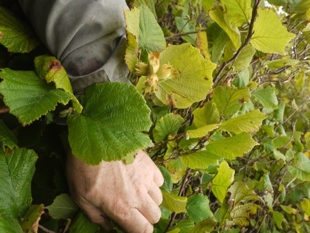 Climbing For Hazelnuts