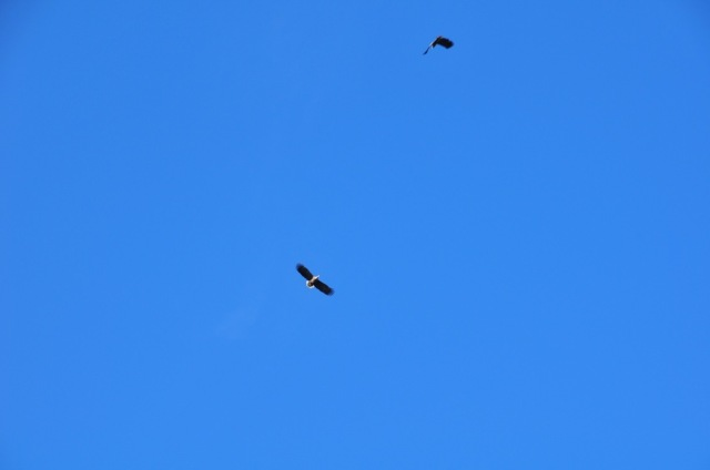 Sea Eagles in The Gap