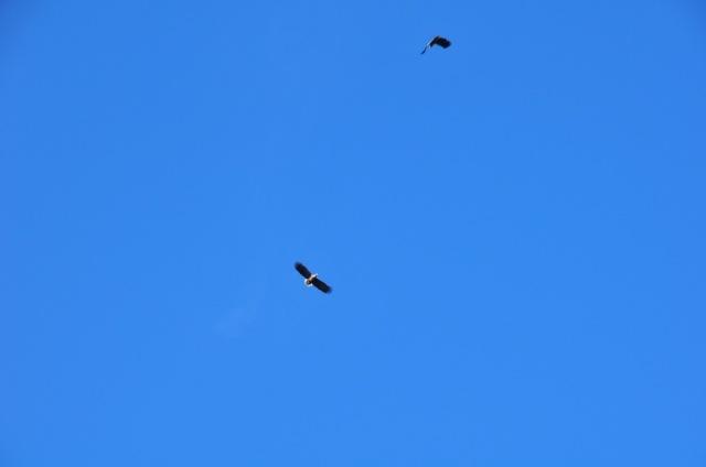 Sea Eagles in The Gap