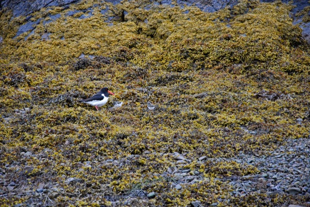 Oyster Catcher + Two Chicks