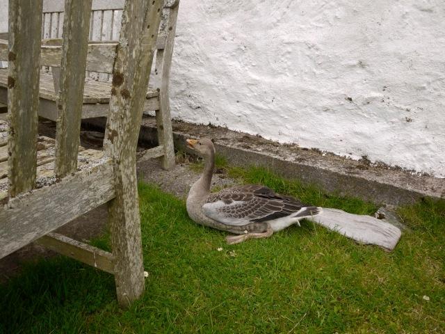 The Injured Goose
