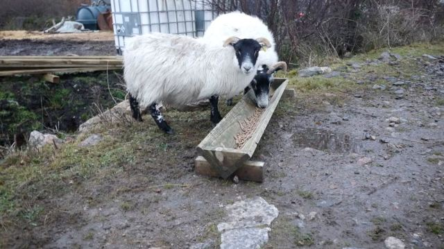 Spotty's Lamb