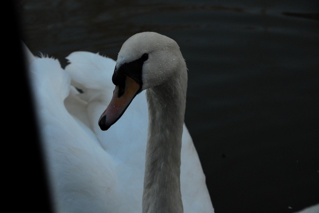 Cheeky Swans